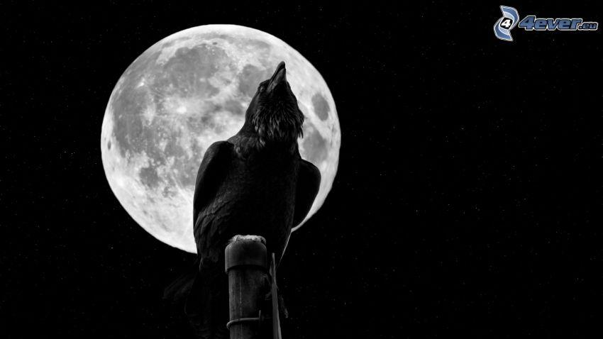 wrona, księżyc