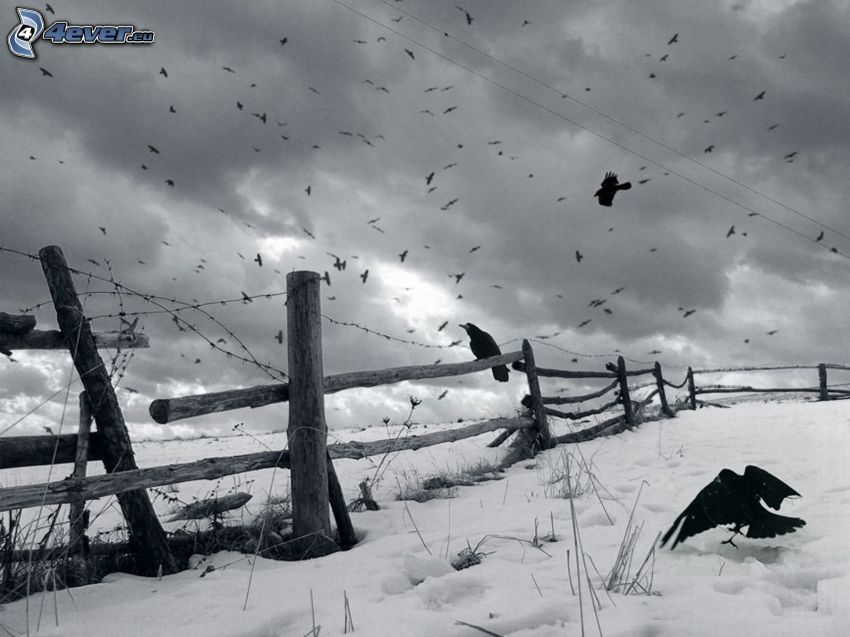 wrony, drewniany płot, śnieg