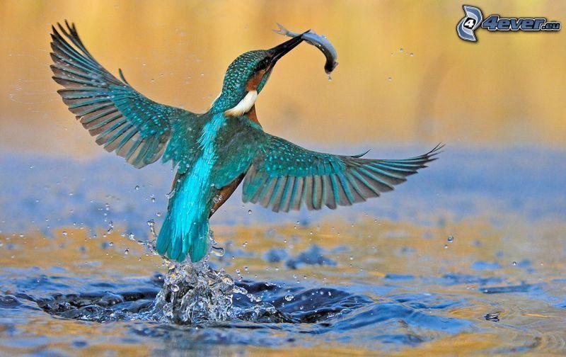 zimorodek, ryba, skrzydła