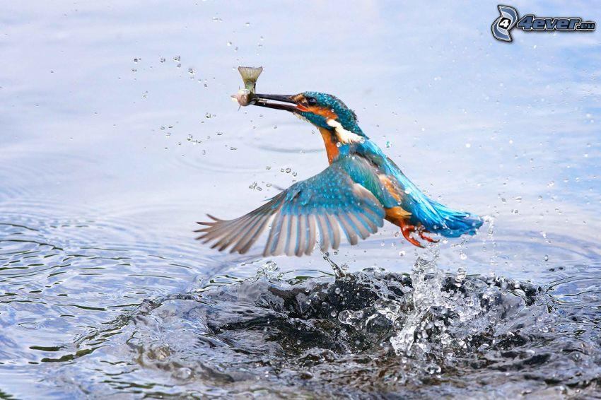 zimorodek, ryba, woda, plusk