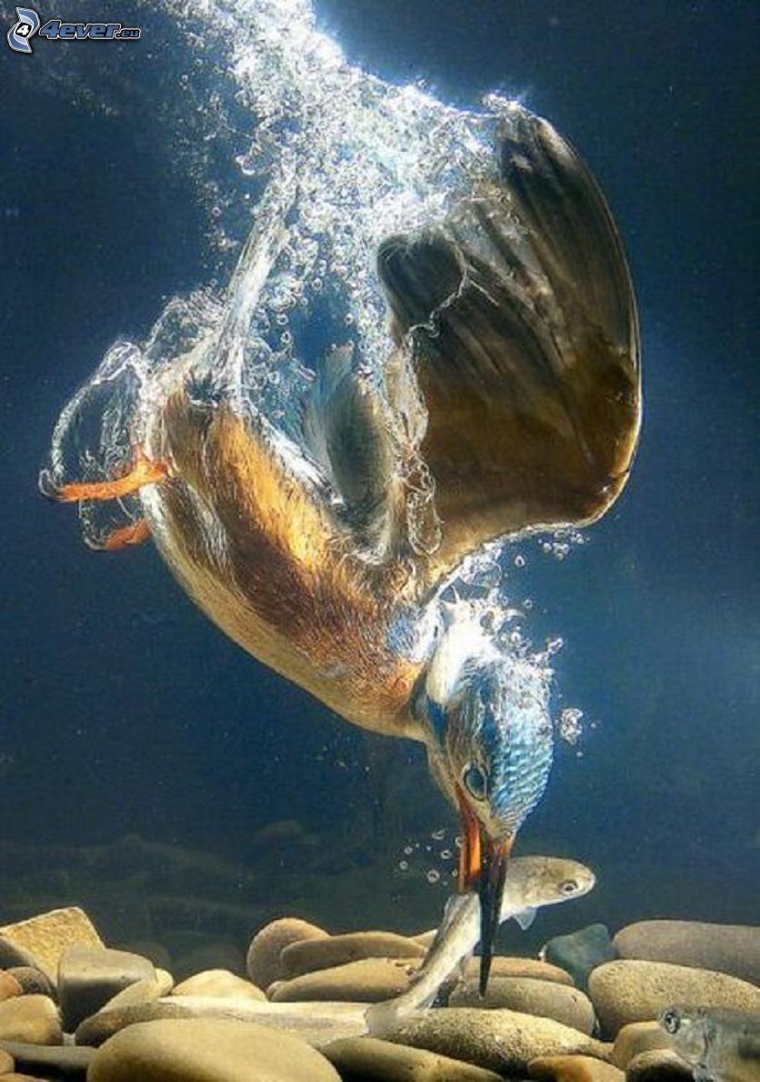 zimorodek, ryba, woda, zdobycz, łup