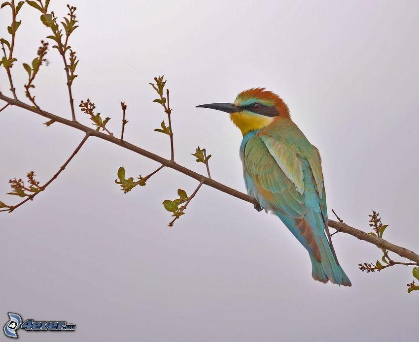 Żołna zwyczajna, ptaszek na gałęzi