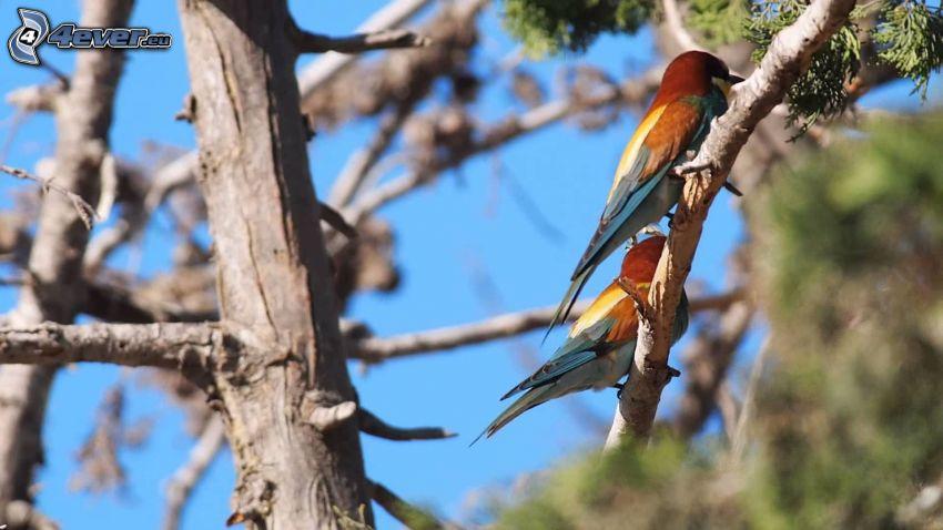 Żołna zwyczajna, ptaszki na gałęzi