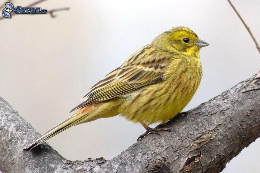 żółty ptak, drewno
