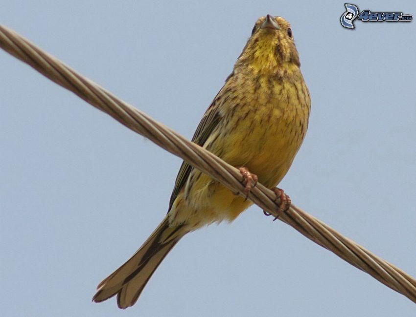 żółty ptak, drut