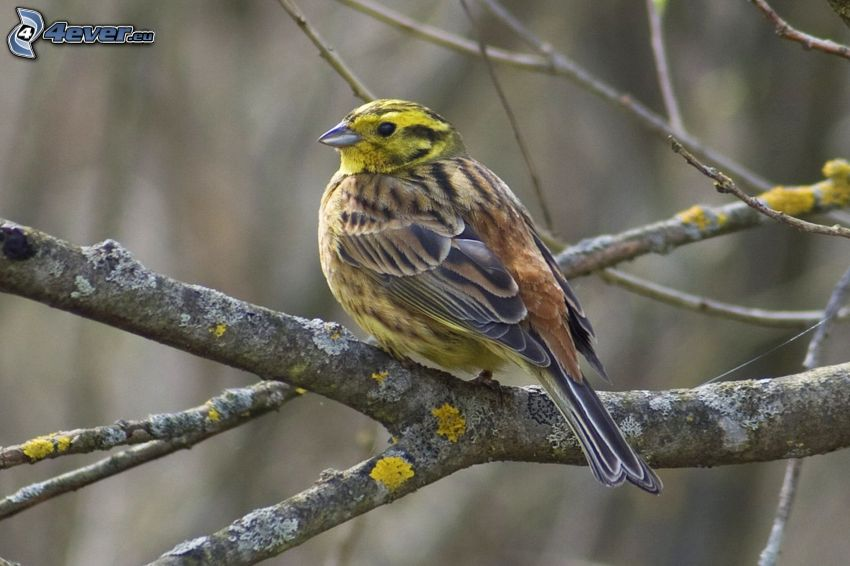 żółty ptak, gałązka