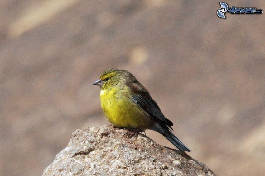 żółty ptak, kamień