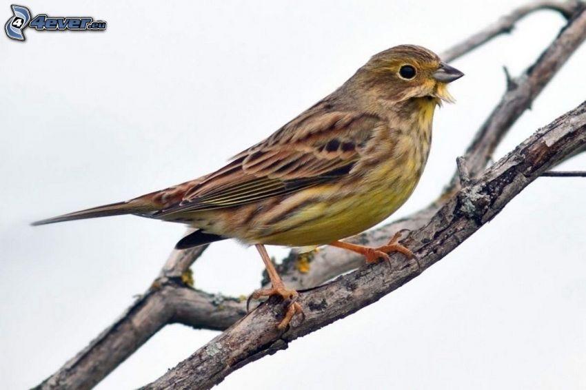 żółty ptak, konar