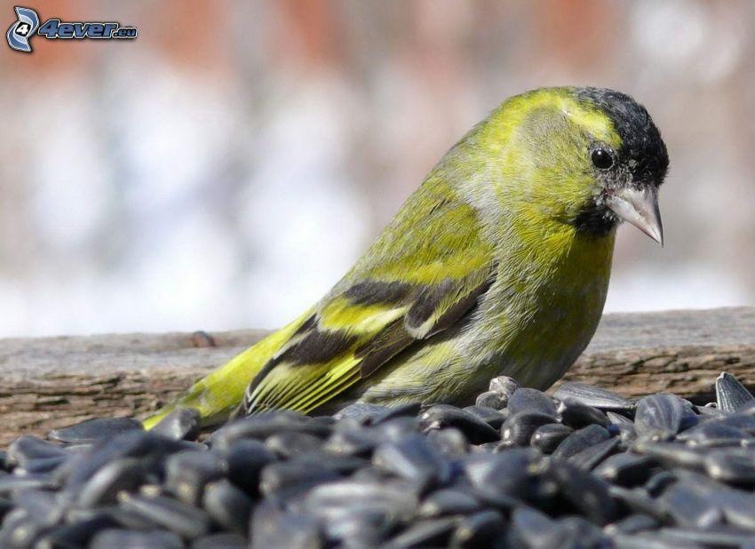 żółty ptak, nasionka