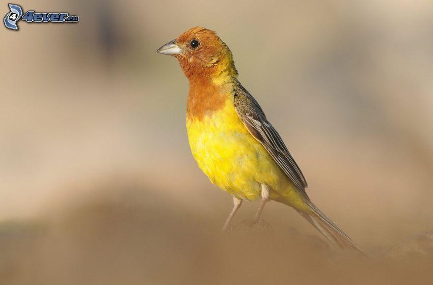 żółty ptak
