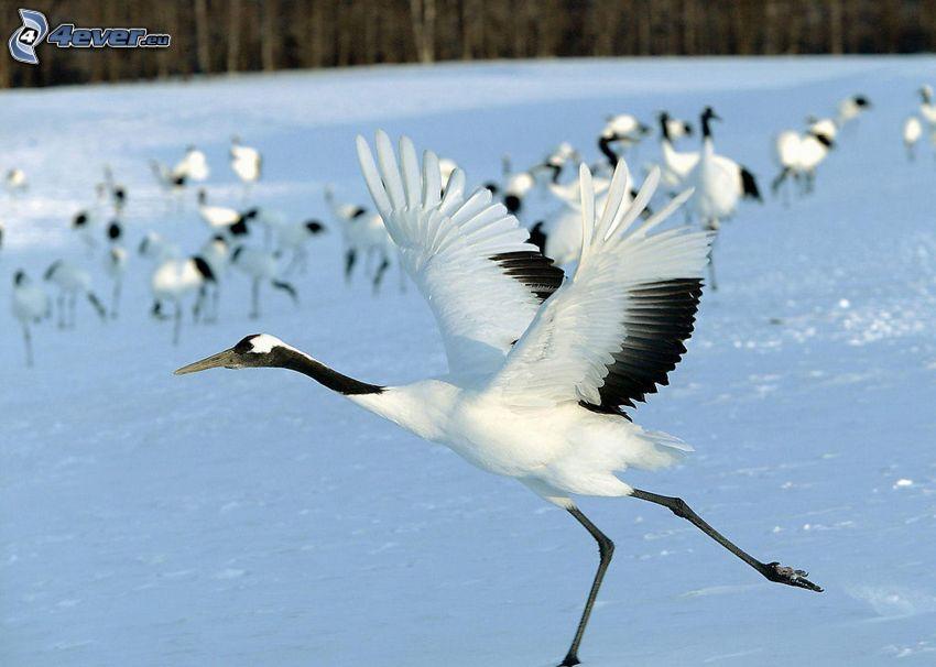 Żuraw, skrzydła, śnieg