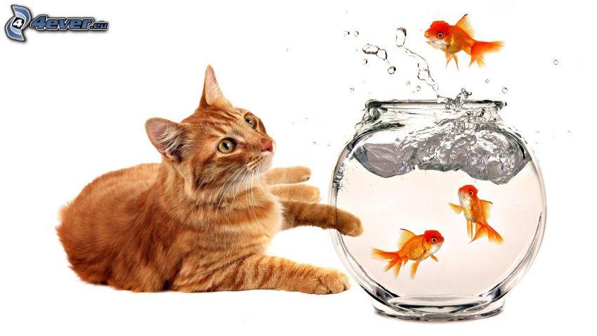 rudy kot, rybki, akwarium