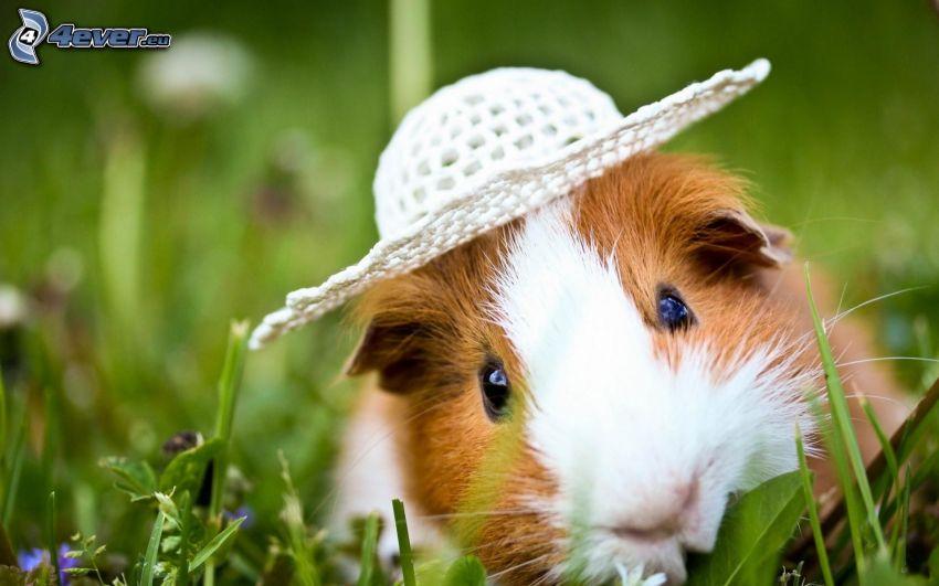 świnka morska, kapelusz, trawa
