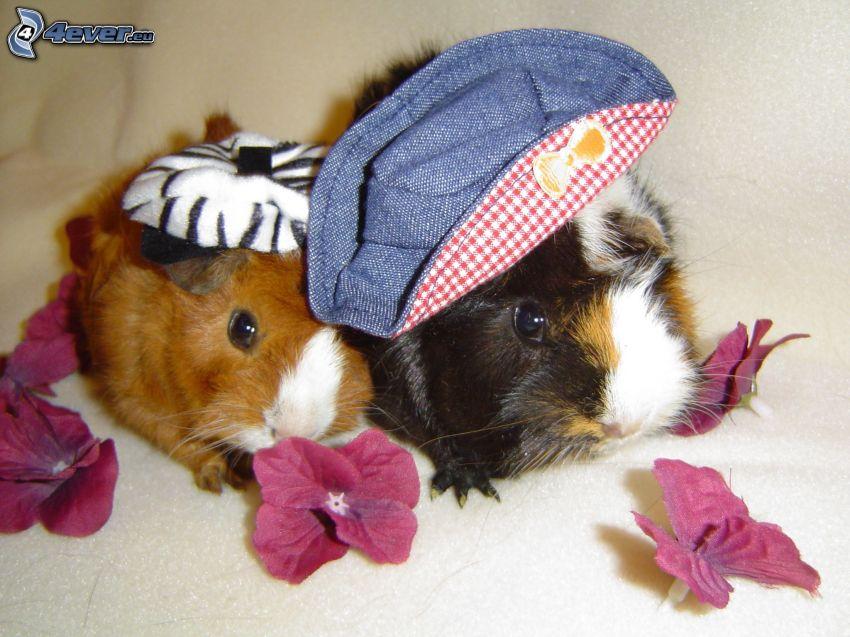 świnki morskie, kwiaty, kapelusze