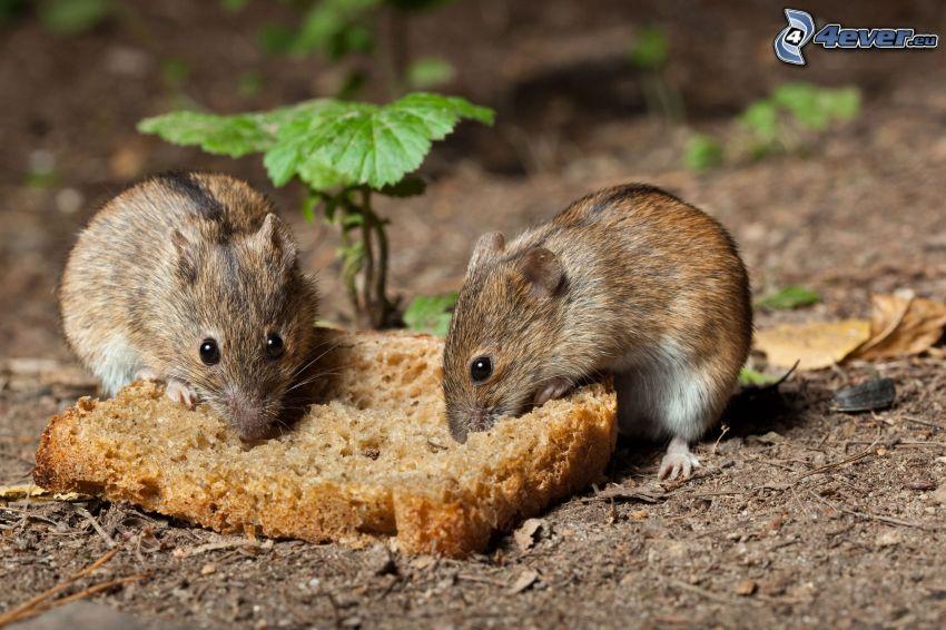 szczury, chleb