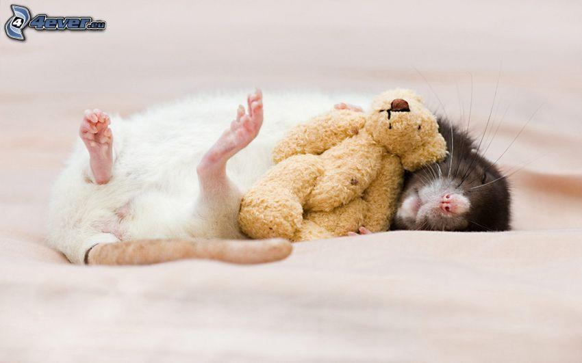 szczury, miś pluszowy, spanie