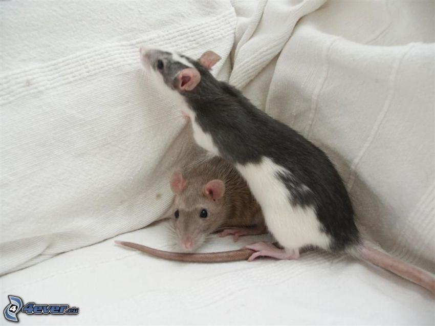 szczury, poduszki