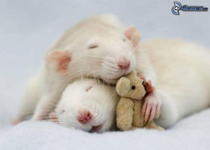 szczury, spanie, miś pluszowy
