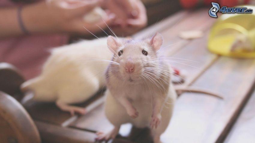 szczury