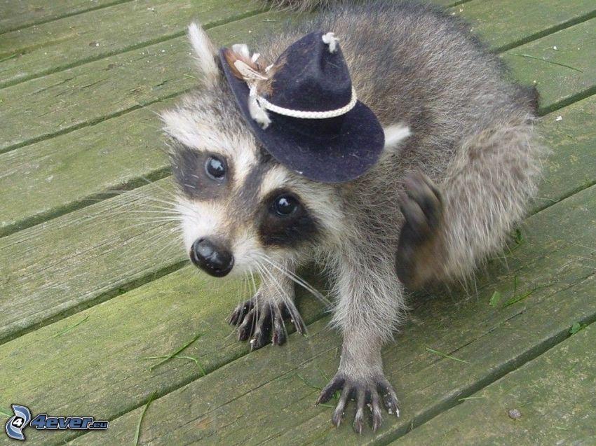 szop pracz, kapelusz