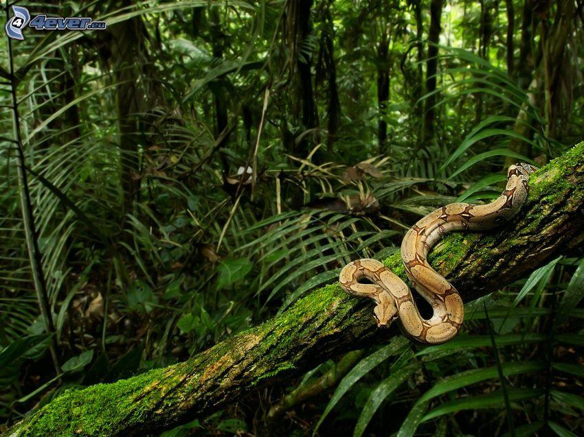 wąż na drzewie, drzewa, dżungla, puszcza