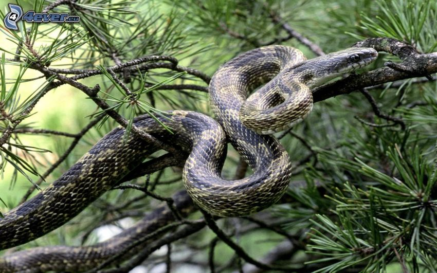 wąż na drzewie, gałązka iglasta