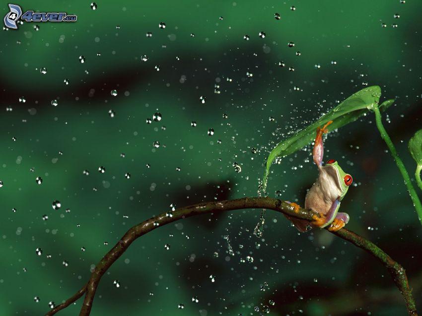 żaba, deszcz, krople wody