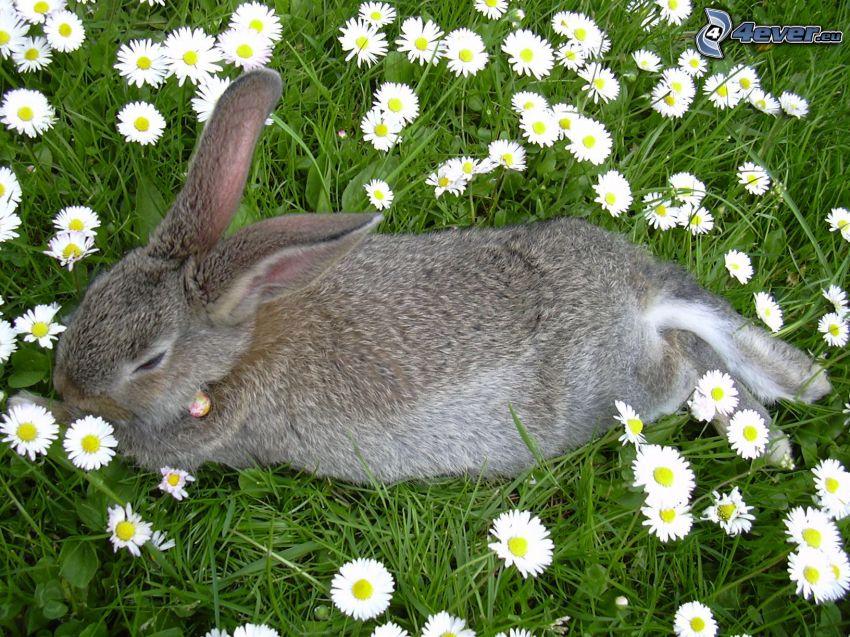 zając na trawie, kwiaty, łąka