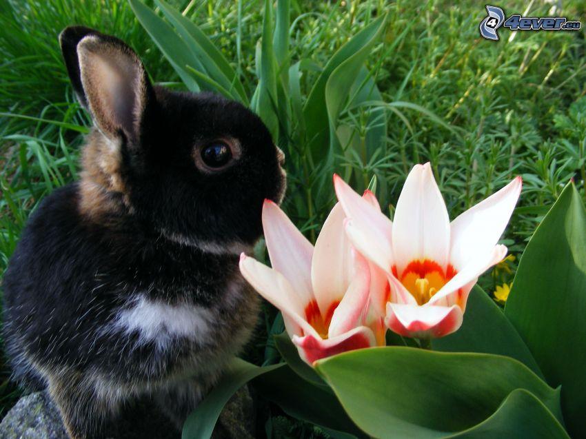 czarny królik, różowe kwiaty