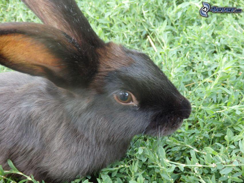 czarny królik, trawa