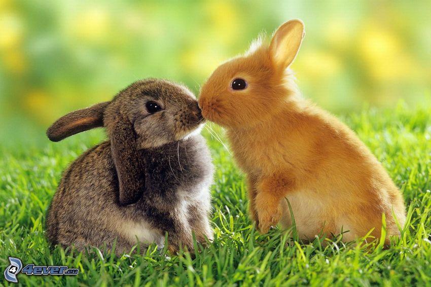 króliczki, pocałunek