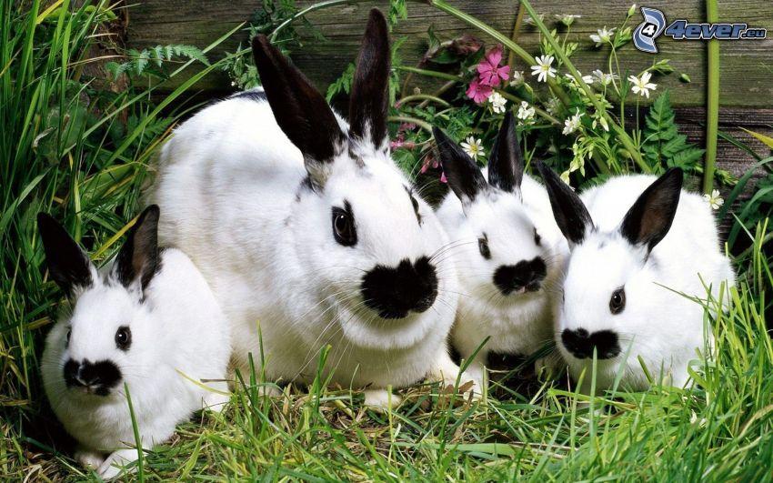 łaciate króliczki, trawa