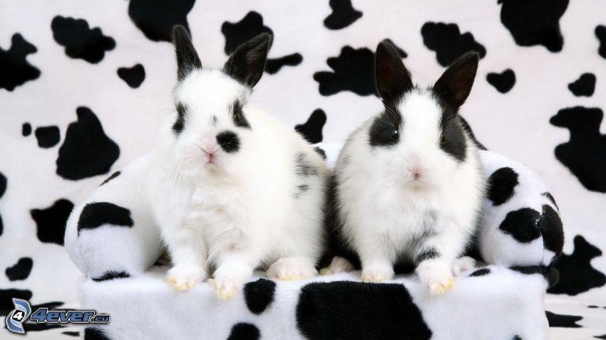 łaciate króliczki