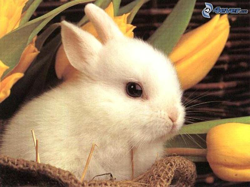 mały króliczek, koszyk, tulipan