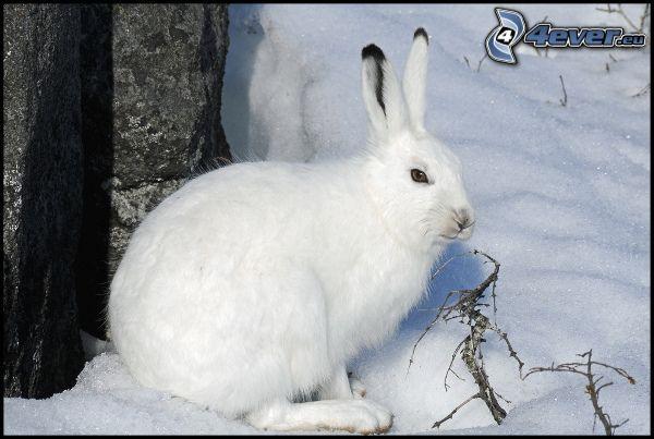 zając na śniegu, królik