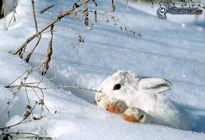 zając na śniegu
