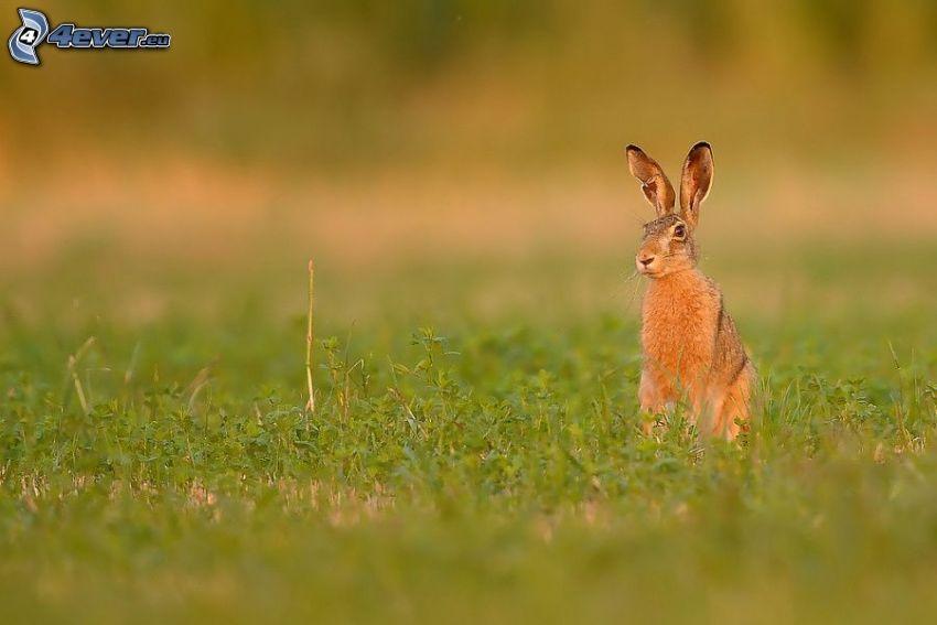 zając na trawie, łąka