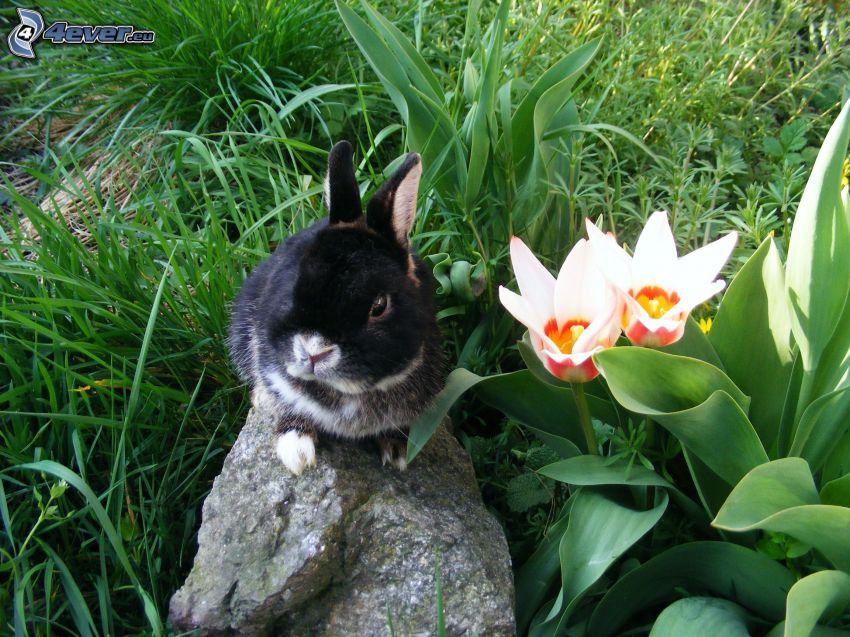 zajączek, kamień, tulipany, trawa