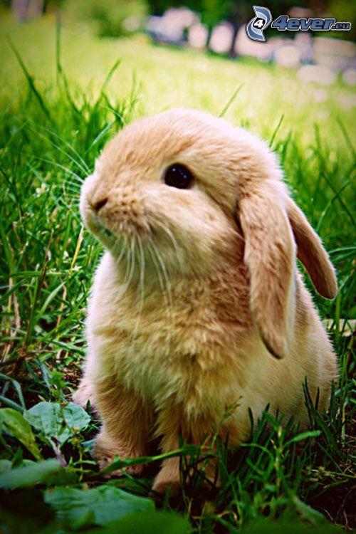 zajączek, królik, trawa, uszy