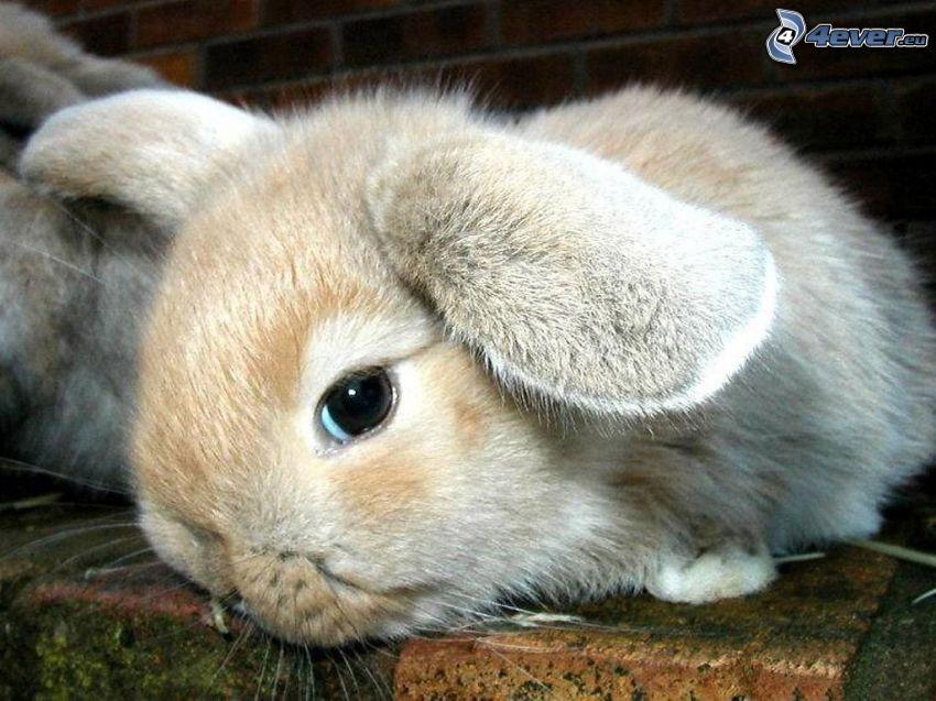 zajączek, królik
