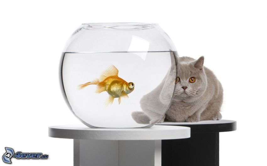 złota rybka, kot brytyjski, akwarium