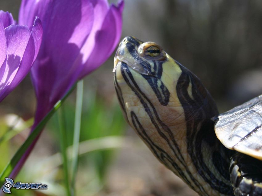 żółw, krokusy