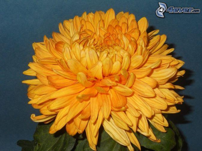 chryzantémy, oranžový kvet