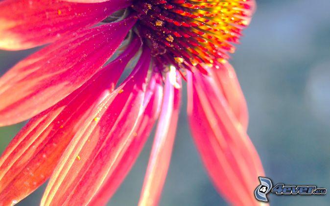 Echinacea, ružový kvet