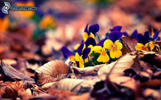 fialky, suché listy