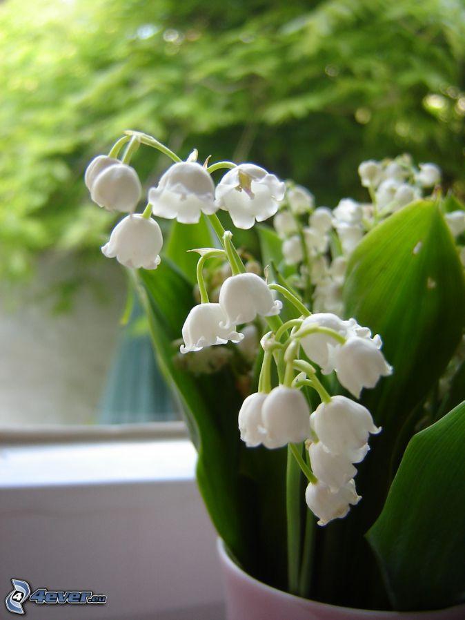 konvalinky, kvetináč, zelené listy