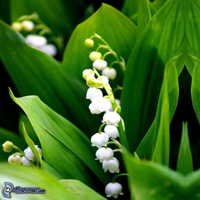 konvalinky, zelené listy