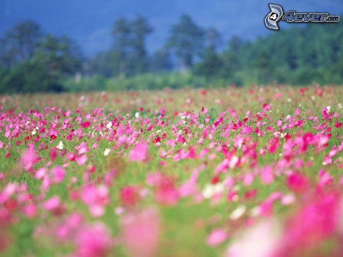 lúka, ružové kvety