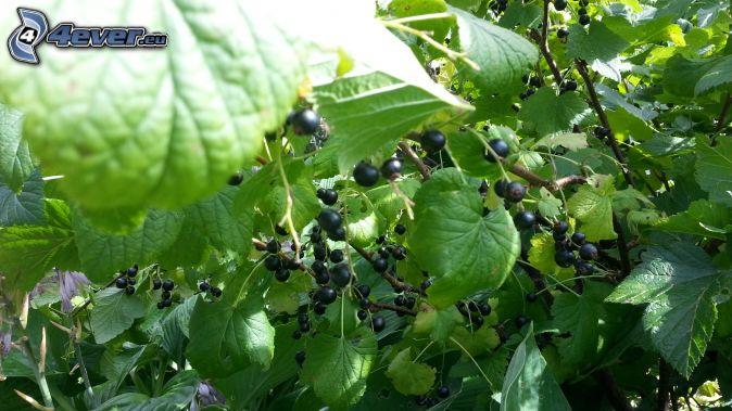 čierne ríbezle, zelené listy
