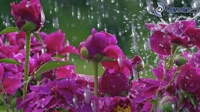 ružové kvety, dážď, kvapky vody